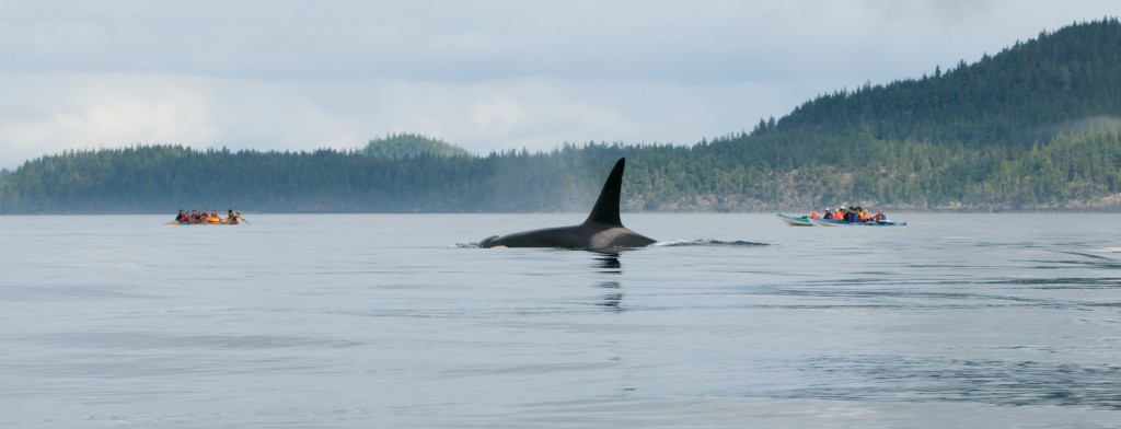 Orca en el área de Vancouver - Photo by winkyintheuk